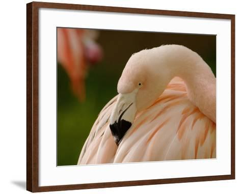 Chilean Flamingo Head (Phoenicopterus Chilensis), Captive-Dave Watts-Framed Art Print