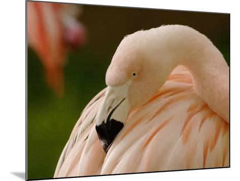 Chilean Flamingo Head (Phoenicopterus Chilensis), Captive-Dave Watts-Mounted Photographic Print