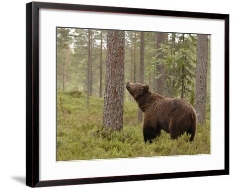 European Brown Bear (Ursus Arctos) Smelling a Scent Mark on a Tree, Finland-Dave Watts-Framed Art Print