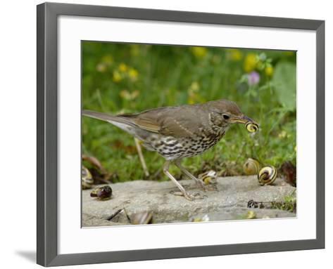 Song Thrush (Turdus Philomelos) at Anvil Smashing Land Snails on Rock, UK-Dave Watts-Framed Art Print