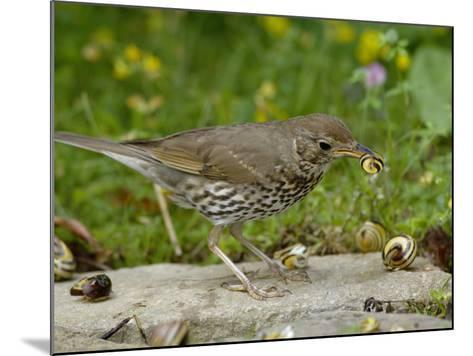 Song Thrush (Turdus Philomelos) at Anvil Smashing Land Snails on Rock, UK-Dave Watts-Mounted Photographic Print