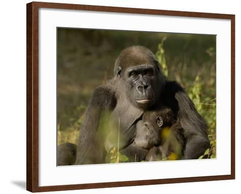 Western Lowland Gorilla (Gorilla Gorilla Gorilla) Mother Breastfeeding Young, Captive-Dave Watts-Framed Art Print