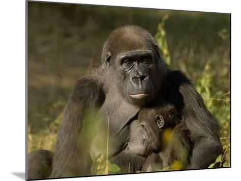 Western Lowland Gorilla (Gorilla Gorilla Gorilla) Mother Breastfeeding Young, Captive-Dave Watts-Mounted Photographic Print