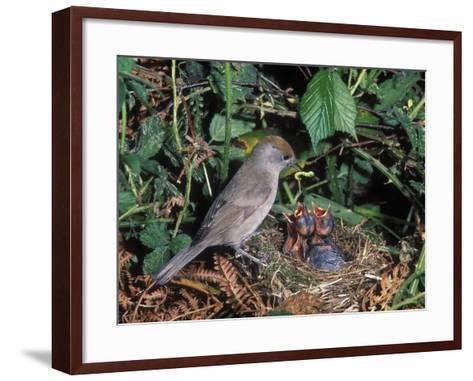 Blackcap (Sylvia Atricapilla) Female Feeding Chicks in the Nest, France-Dave Watts-Framed Art Print