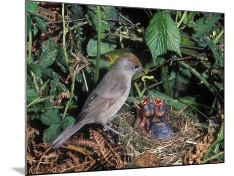 Blackcap (Sylvia Atricapilla) Female Feeding Chicks in the Nest, France-Dave Watts-Mounted Photographic Print