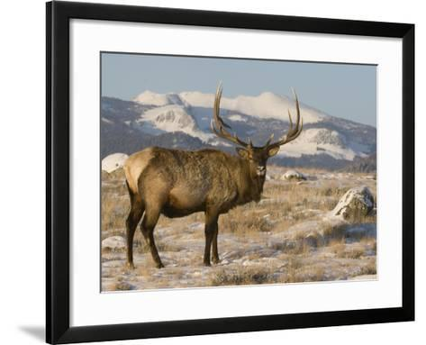 Elk (Cervus Elaphus), Yellowstone, Wyoming-Tom Walker-Framed Art Print