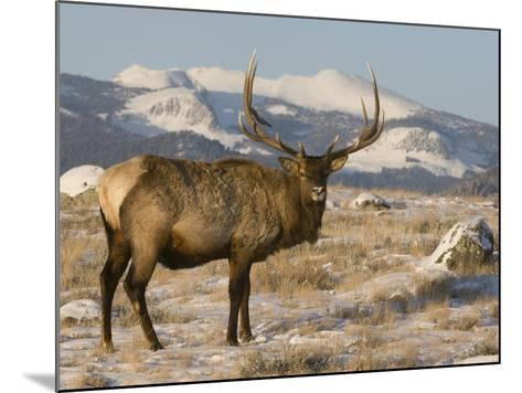 Elk (Cervus Elaphus), Yellowstone, Wyoming-Tom Walker-Mounted Photographic Print