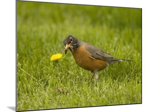 American Robin with an Earthworm in its Bill (Turdus Migratorius), North America-Tom Walker-Mounted Photographic Print