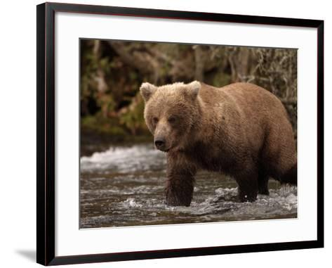 Grizzly Bear (Ursus Arctos) Fishing for Salmon in a Stream, Alaska, USA-Dave Watts-Framed Art Print