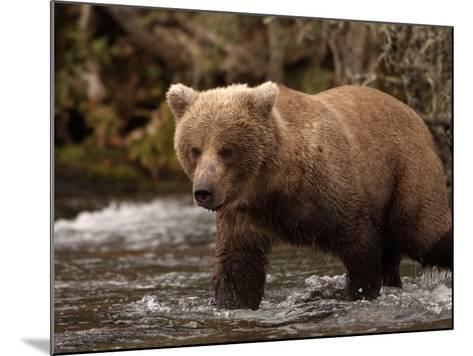 Grizzly Bear (Ursus Arctos) Fishing for Salmon in a Stream, Alaska, USA-Dave Watts-Mounted Photographic Print