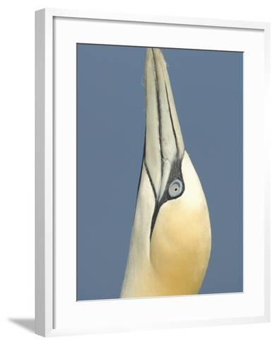 Close Up of the Head of a Northern Gannet During Sky Pointing Courtship Behavior, Scotland, UK-Solvin Zankl-Framed Art Print