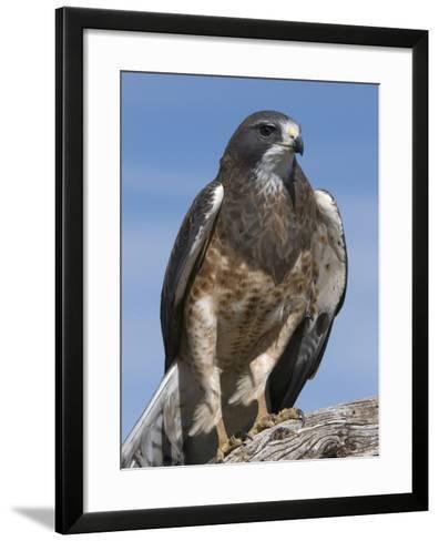 Swainson's Hawk (Buteo Swainsonii), San Juan Mountains, New Mexico-Tom Walker-Framed Art Print