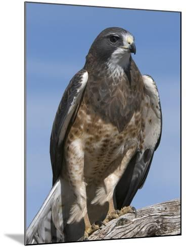 Swainson's Hawk (Buteo Swainsonii), San Juan Mountains, New Mexico-Tom Walker-Mounted Photographic Print
