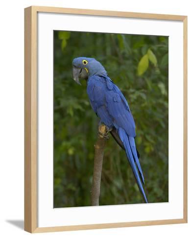 Hyacinth Macaw (Anodorhynchus Hyacinthinus), Captive-Dave Watts-Framed Art Print