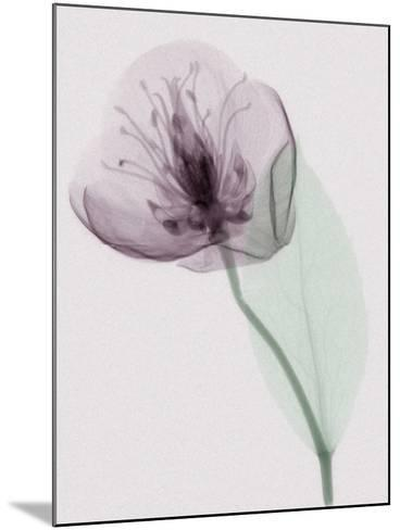 X-Ray of a Leaf and Flower-George Taylor-Mounted Photographic Print