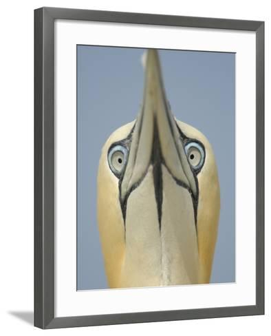Close Up of the Head of a Northern Gannet During Sky Pointing Courtship Display, Scotland, UK-Solvin Zankl-Framed Art Print