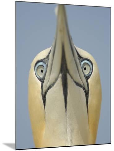 Close Up of the Head of a Northern Gannet During Sky Pointing Courtship Display, Scotland, UK-Solvin Zankl-Mounted Photographic Print