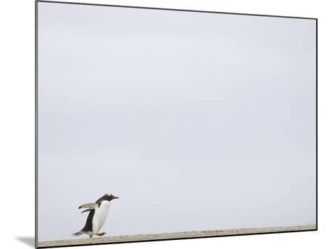 Commuting Between the Ocean and the Rookery the Gentoo Penguins (Pygoscelis Papua)-Solvin Zankl-Mounted Photographic Print