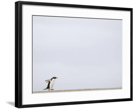 Commuting Between the Ocean and the Rookery the Gentoo Penguins (Pygoscelis Papua)-Solvin Zankl-Framed Art Print