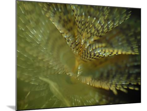 European Fan Worm (Sabella Spallanzanii), Sabellidae, San Pietro, Sardinia, Mediterranean Sea-Solvin Zankl-Mounted Photographic Print
