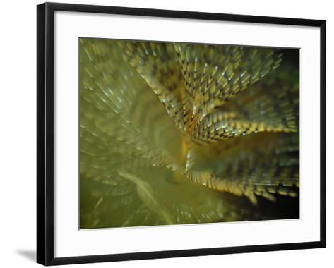 European Fan Worm (Sabella Spallanzanii), Sabellidae, San Pietro, Sardinia, Mediterranean Sea-Solvin Zankl-Framed Art Print