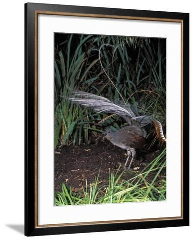 Superb Lyrebird Singing and Displaying (Menura Novaehollandiae), Healesville Sanctuary, Victoria-Dave Watts-Framed Art Print