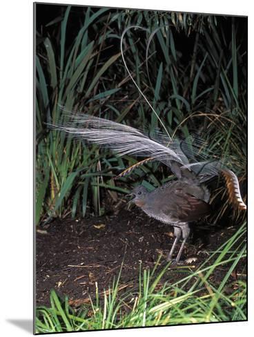 Superb Lyrebird Singing and Displaying (Menura Novaehollandiae), Healesville Sanctuary, Victoria-Dave Watts-Mounted Photographic Print