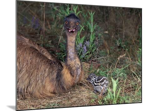 Emu (Dromaius Novaehollandiae) Male with Chick at the Nest, Queensland, Australia-Dave Watts-Mounted Photographic Print
