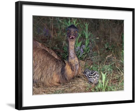 Emu (Dromaius Novaehollandiae) Male with Chick at the Nest, Queensland, Australia-Dave Watts-Framed Art Print
