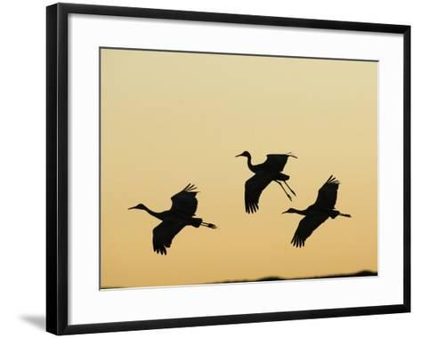 Sandhill Cranes Flying at Dusk (Grus Canadensis), Bosque Del Apache, New Mexico, USA-Tom Walker-Framed Art Print