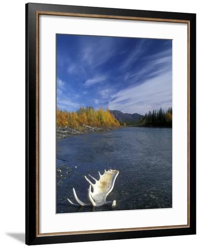 Moose Antler in the Hunts River, Brooks Range, Kobuk National Park, Alaska, USA-Tom Walker-Framed Art Print
