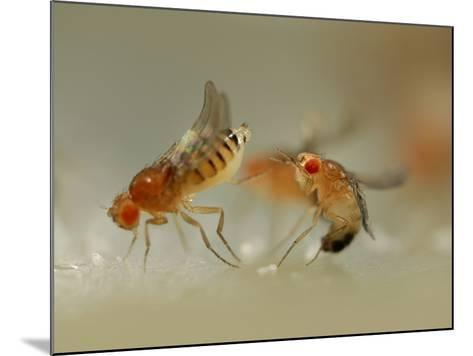 Mating Behavior of Fruit Flies (Drosophila Melanogaster) Showing Female Rejecting a Male-Solvin Zankl-Mounted Photographic Print