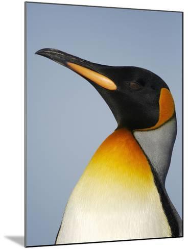 King Penguin Head (Aptenodytes Patagonicus)-Solvin Zankl-Mounted Photographic Print