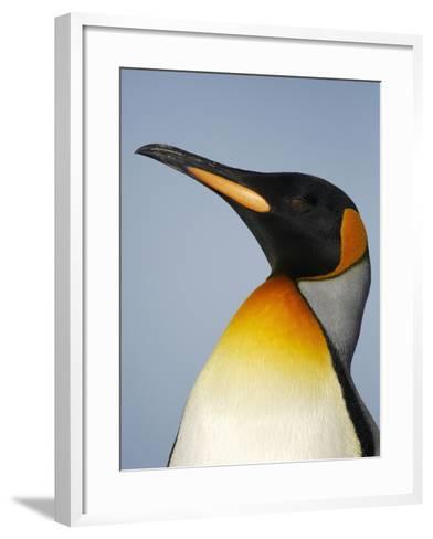 King Penguin Head (Aptenodytes Patagonicus)-Solvin Zankl-Framed Art Print