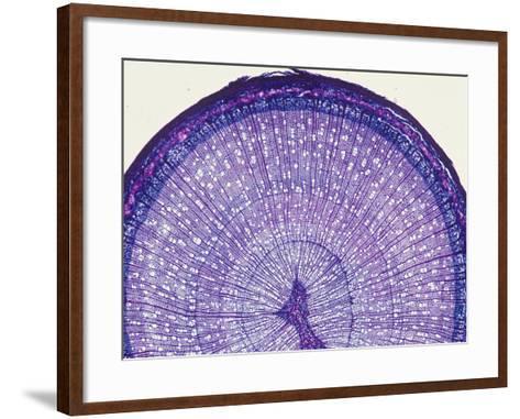 Cross-Section of a Birch Stem (Betula), LM X7-Biodisc-Framed Art Print