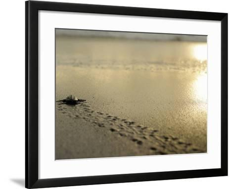 An Olive Ridley Sea Turtle Hatchling (Lepidochelys Olivacea) on its Way to the Sea-Solvin Zankl-Framed Art Print