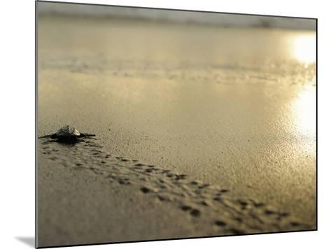 An Olive Ridley Sea Turtle Hatchling (Lepidochelys Olivacea) on its Way to the Sea-Solvin Zankl-Mounted Photographic Print