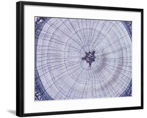 Cross-Section of a Bald Cypress Stem (Taxodium), LM X5-Biodisc-Framed Art Print