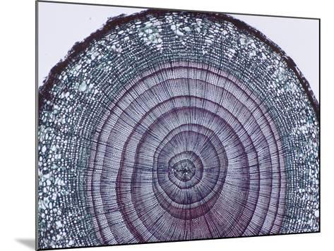Cross-Section of Arbor Vitae Stem (Thuja), LM X9-Biodisc-Mounted Photographic Print