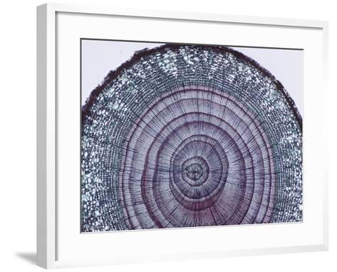 Cross-Section of Arbor Vitae Stem (Thuja), LM X9-Biodisc-Framed Art Print