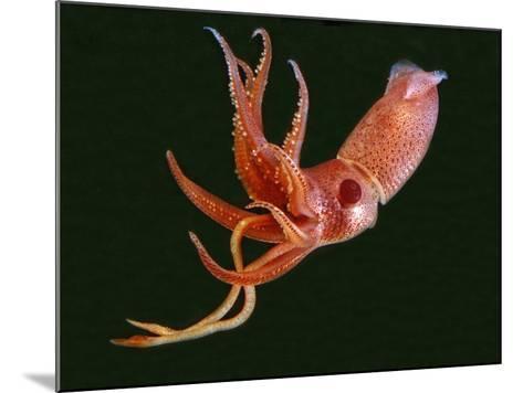 Bioluminescent Cock-Eye Squid (Histioteuthis Heteropsis)-David Wrobel-Mounted Photographic Print