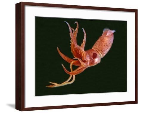 Bioluminescent Cock-Eye Squid (Histioteuthis Heteropsis)-David Wrobel-Framed Art Print