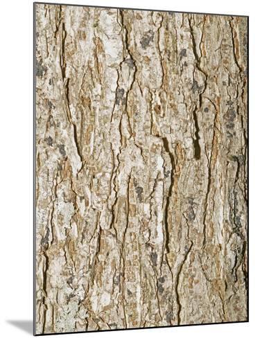 American Elm Tree (Ulnus Americana)-Scientifica-Mounted Photographic Print