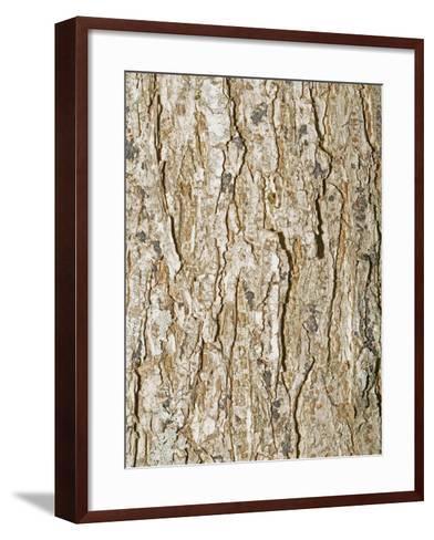 American Elm Tree (Ulnus Americana)-Scientifica-Framed Art Print
