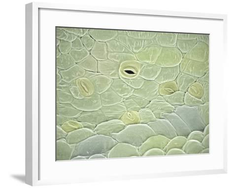 Hibiscus (Hibiscus Schizopetalus) with Open and Closed Stomata, SEM-Scientifica-Framed Art Print
