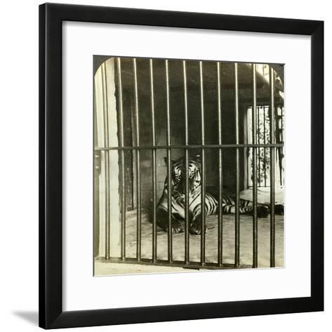 Captured Man-Eating Tiger Blamed for 200 Deaths, Calcutta, India, C1903-Underwood & Underwood-Framed Art Print