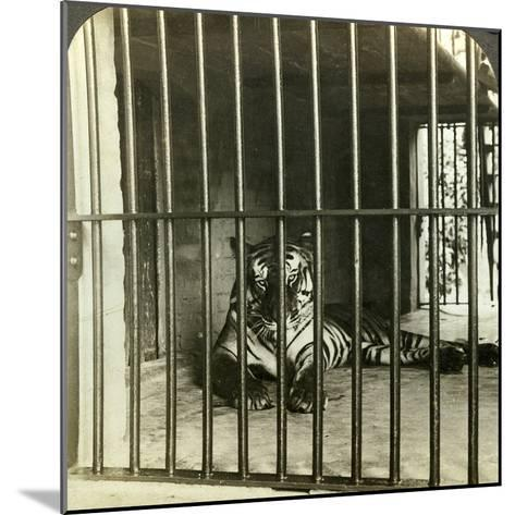 Captured Man-Eating Tiger Blamed for 200 Deaths, Calcutta, India, C1903-Underwood & Underwood-Mounted Photographic Print