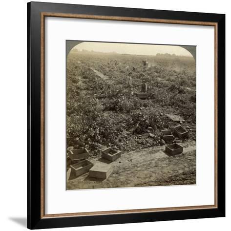 Drying Raisins, Fresno, San Joaquin Valley, California, USA-Underwood & Underwood-Framed Art Print