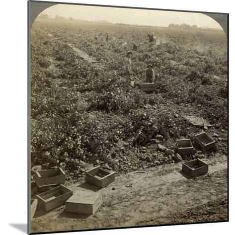 Drying Raisins, Fresno, San Joaquin Valley, California, USA-Underwood & Underwood-Mounted Photographic Print
