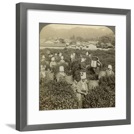 Girls Picking Tea, Uji, Japan-Underwood & Underwood-Framed Art Print